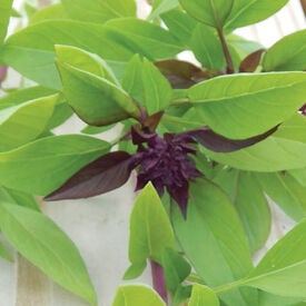 Siam Queen, Basil Seeds