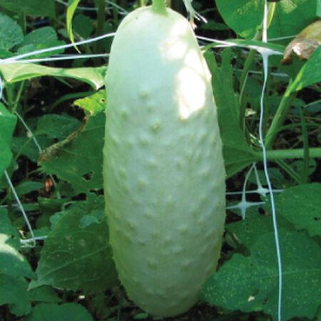 White Wonder, Cucumber Seeds - Packet image number null