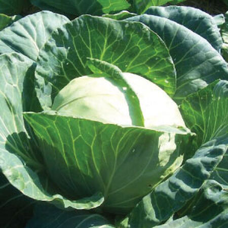 Early Round Dutch, Cabbage Seeds - Packet image number null