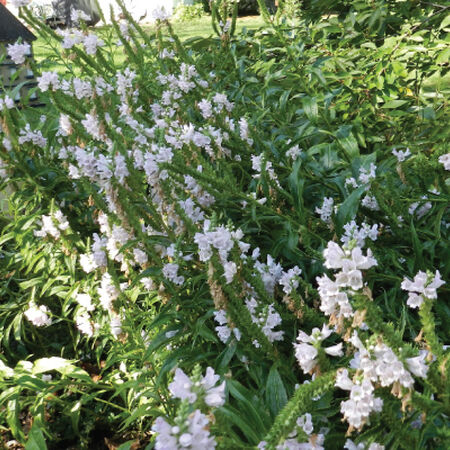 Obedient Plant, Physostegia Seeds - Packet image number null
