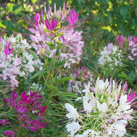 Spider Flower Mix, Cleome Seeds - Packet image number null