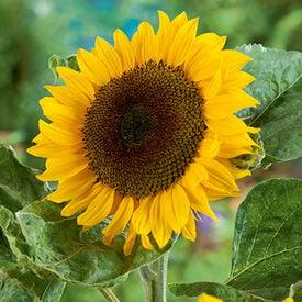 Classic Gold, (F1) Sunflower Seeds