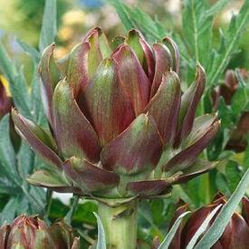 Purple Italian Globe, Artichoke Seeds
