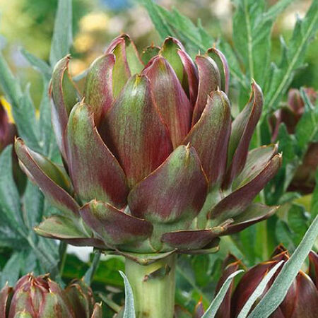 Purple Italian Globe, Artichoke Seeds - Packet image number null