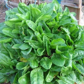 Garden Sorrel Seeds, Greens