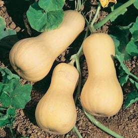 Chieftain PMT, (F1) Squash Seeds