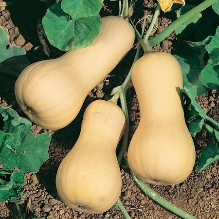 Chieftain PMT, Squash Seeds - Packet image number null