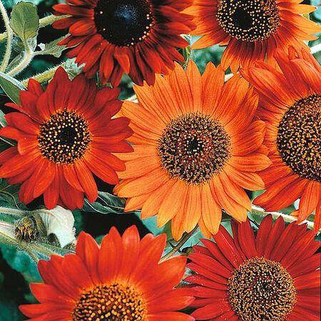 Earthwalker, Sunflower Seeds image number null