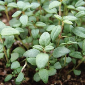 French, Thyme Seed