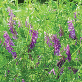 Hairy Vetch, Legumes