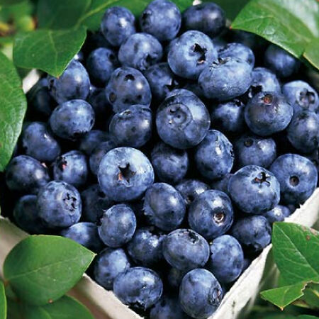 Blueray, Blueberry Plant image number null