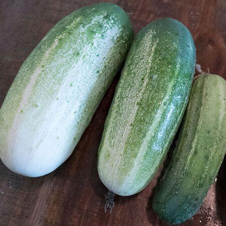 Arkansas Little Leaf, Cucumber Seeds image number null