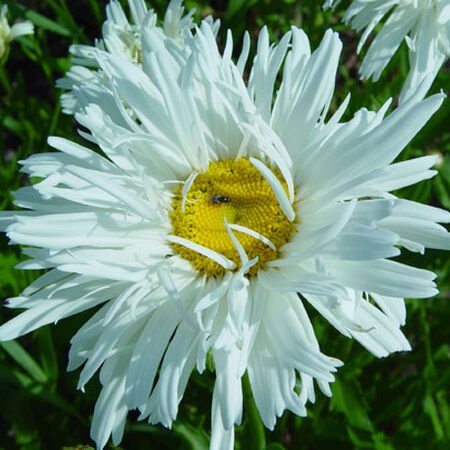 Crazy, Daisy Seeds - Packet image number null