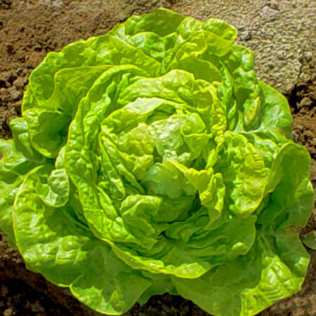 White Boston, Lettuce Seeds - Packet image number null