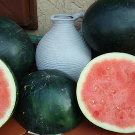 Harvest Moon Seedless, (F1) Watermelon Seeds