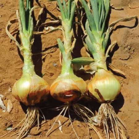 Yellow Sweet Spanish, Onion Seeds - Packet image number null