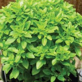 Pistou, Basil Seeds