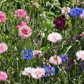 Tall Mix, Cornflower Seeds