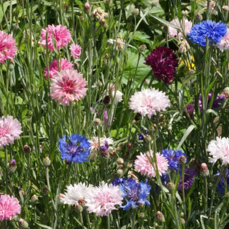 Tall Mix, Cornflower Seeds - Packet image number null