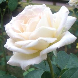 White Bush, Rose Seeds