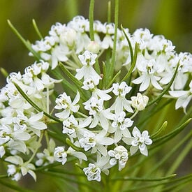 Whorled, Asclepias (Butterfly Weed)
