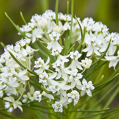 Whorled, Asclepias (Butterfly Weed) - Packet image number null