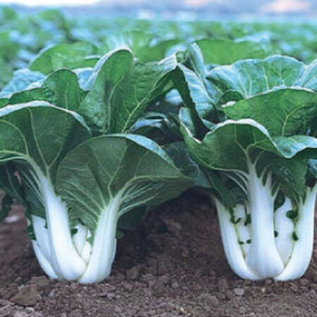 Joi Choi Bok Choy Seeds, Greens - Packet image number null