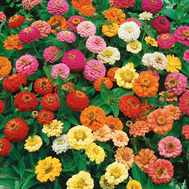 Thumbelina Mix, Zinnia Seeds