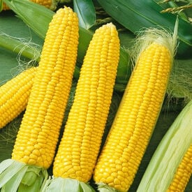 Honey Select Sweet, (F1) Corn Seed