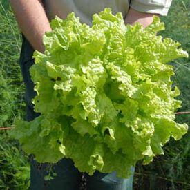 Black Seeded Simpson, Lettuce Seeds