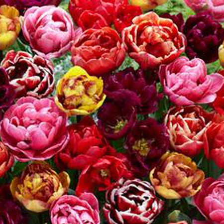 Springtime Mixture Double Late, Container Flowers image number null