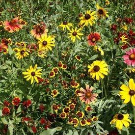 Short Prairie Blend, Wildflower Seed