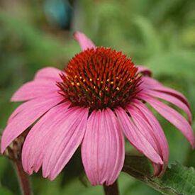 Magnus, Echinacea Seeds