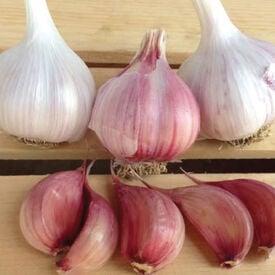 Chesnok Red, Garlic Seed