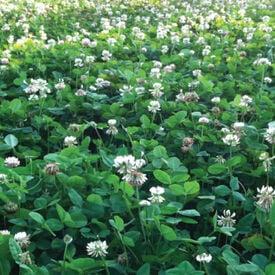 Ladino Clover, Legumes