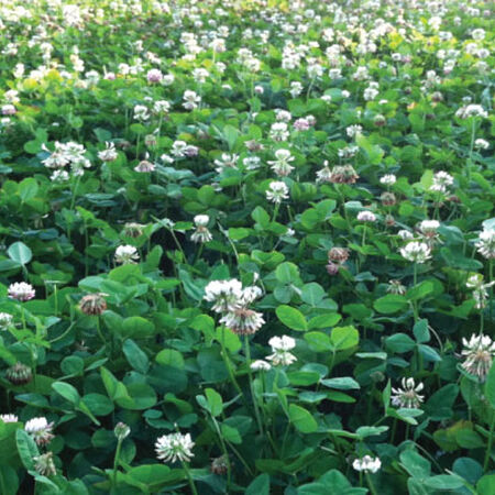 Ladino Clover, Legumes - 1 Pound image number null