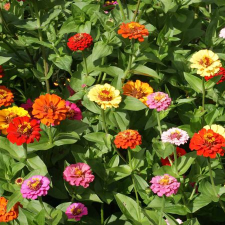Pumila, Zinnia Seeds - Packet image number null