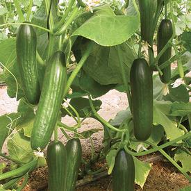 Manny, (F1) Cucumber Seeds
