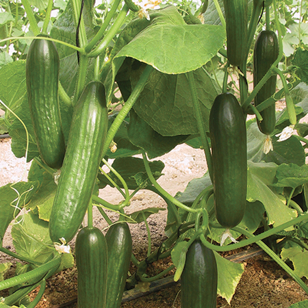 Manny, (F1) Cucumber Seeds image number null
