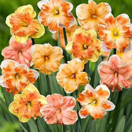 Butterfly Mix, Daffodil Bulbs image number null