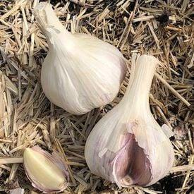 Susan Delafield, Garlic Bulbs