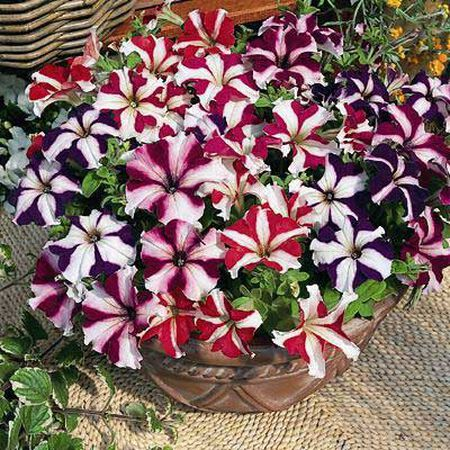 Ultra Mix, Petunia Seeds - Packet image number null