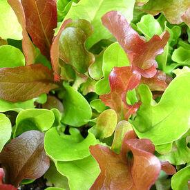 Garden Mesclun Blend, Green Seeds