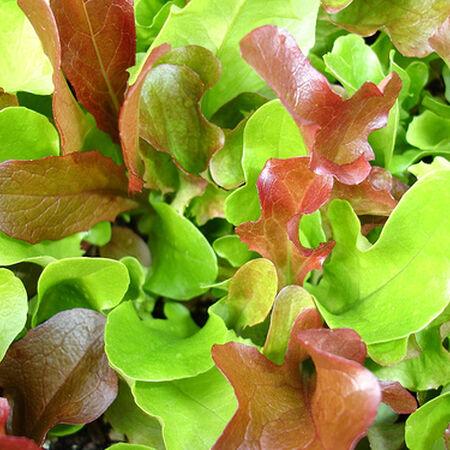 Garden Mesclun Blend, Green Seeds - Packet image number null