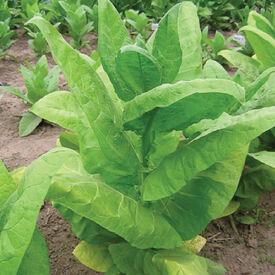 Burley 9, Tobacco Seed