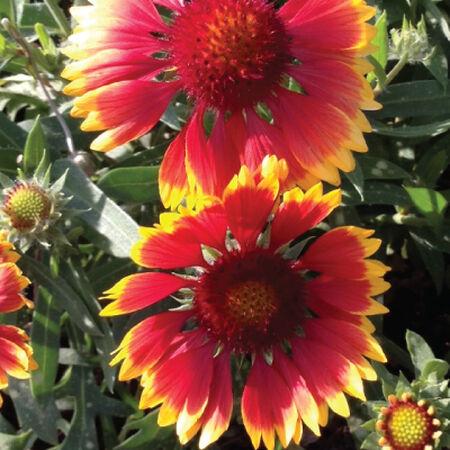 Blanket Flower, Gaillardia - Packet image number null