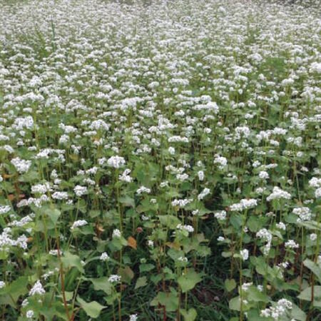 Common Buckwheat, Grains - 1 Pound image number null