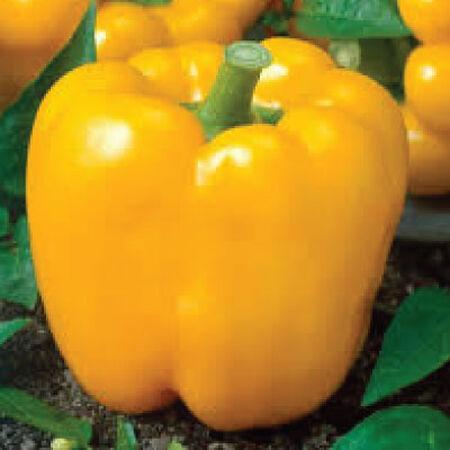 Golden Cal Wonder, Pepper Seeds image number null