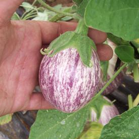 Piccolo, Eggplant Seeds
