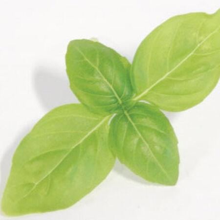 Large Leaf Italian Basil, Microgreen Seeds - 1/4 Pound image number null